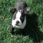 3 month old Boston Terrier puppy