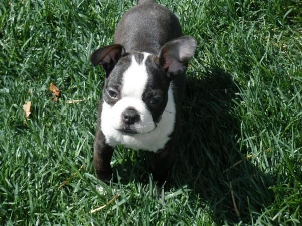 3 month old Boston Terrier puppy