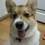 3 month old Pembroke Welsh Corgi