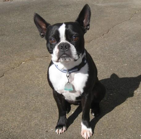 3 year old Boston Terrier