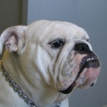 4 year old female English Bulldog