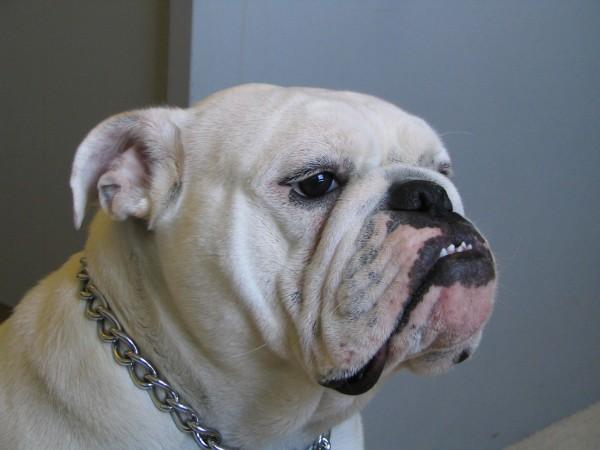 4 year old female English Bulldog