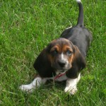 8 week old Basset Hound