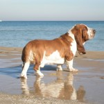 Basset hound on beach