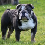 Blue English Bulldog Wallpaper
