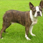 Brown Boston Terrier