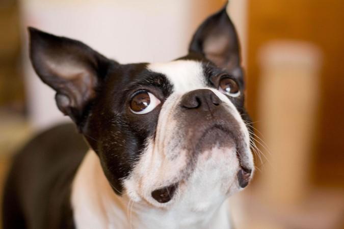 Boston Terrier head