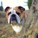 British bulldog wallpaper