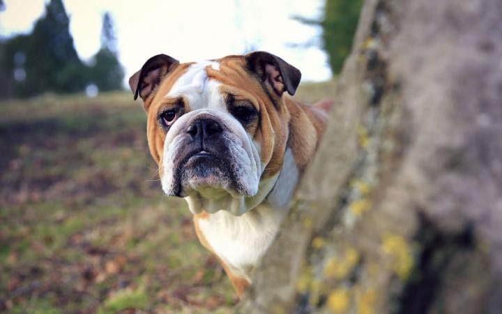 British bulldog wallpaper
