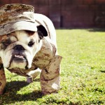 Bulldog in army costume