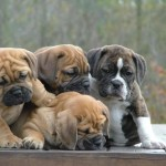 Bulldog puppies playing