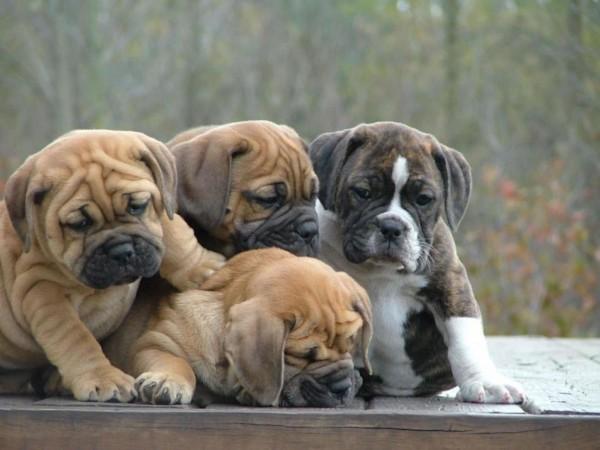 Bulldog puppies playing