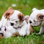 Bulldogs playing