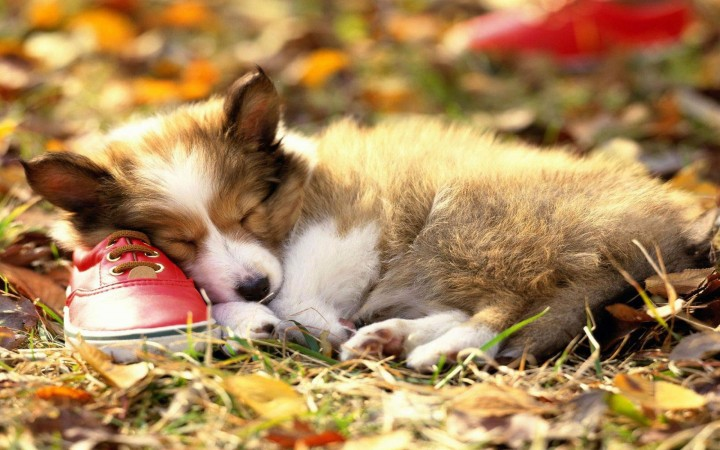 Cute Pembroke puppy sleeping