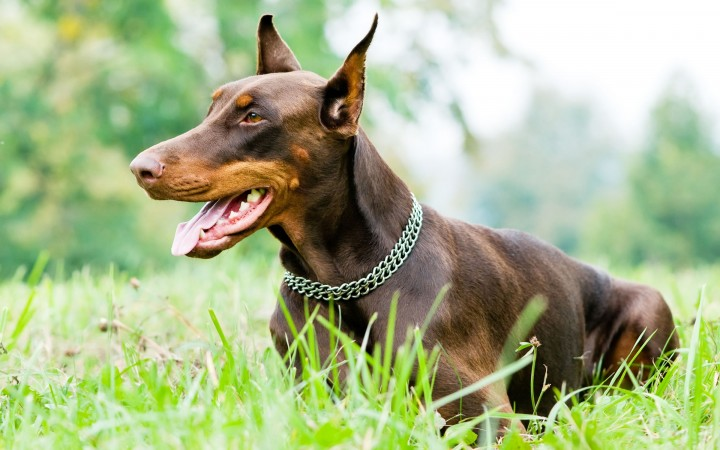 Doberman Pinscher wallpaper