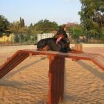 Doberman pinscher in dog park