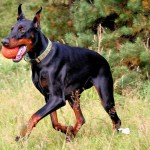 Doberman playing