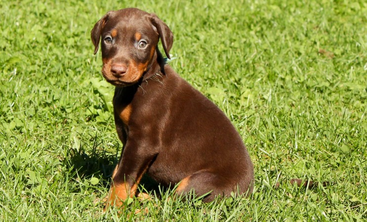 Doberman pinscher puppy
