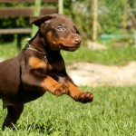Doberman puppy running