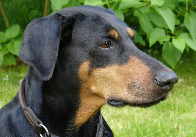 Doberman with natural ears