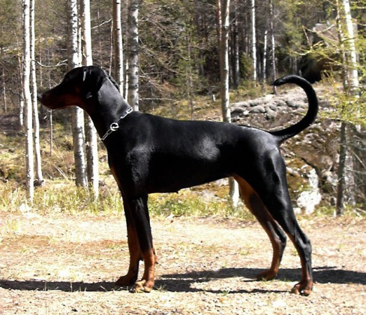 Doberman with undocked tail