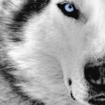 Husky face wallpaper