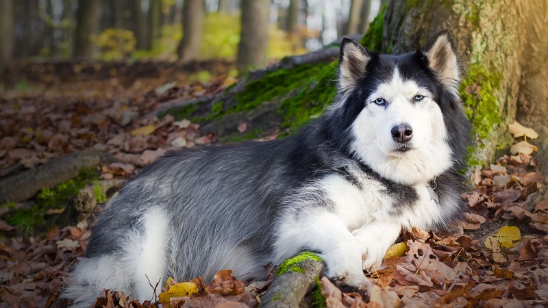 Husky in forest