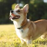 Pembroke dog