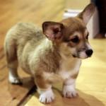 Pembroke puppy