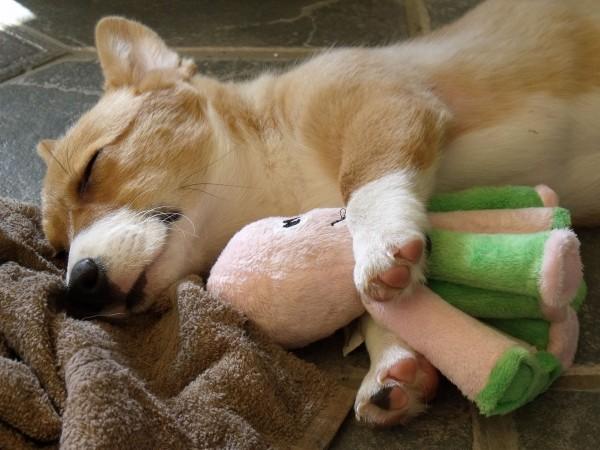 Pembroke puppy sleeping