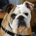 Purebred six month bulldog