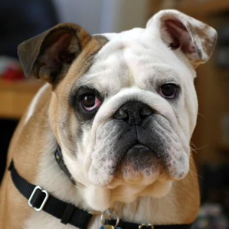 Purebred six month bulldog