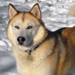 Sable Siberian Husky