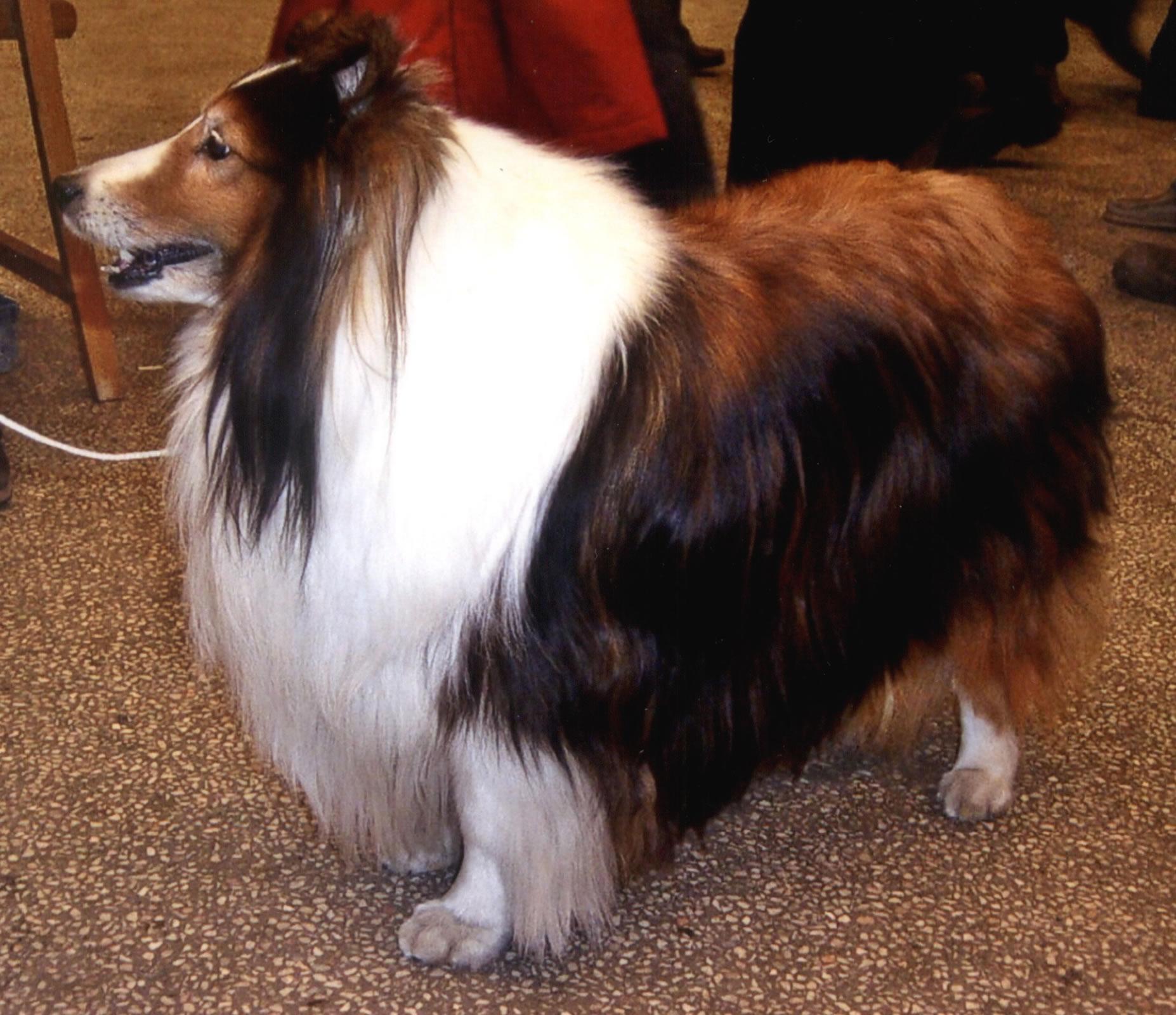 Shetland Sheepdog - My Doggy Rocks