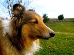 Shetland Sheepdog closeup