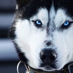 Siberian Husky head wallpaper