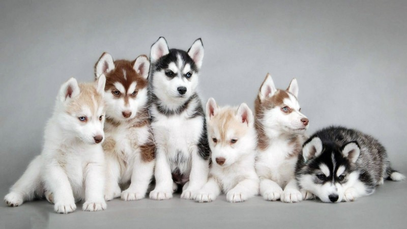 Siberian Husky puppies wallpaper