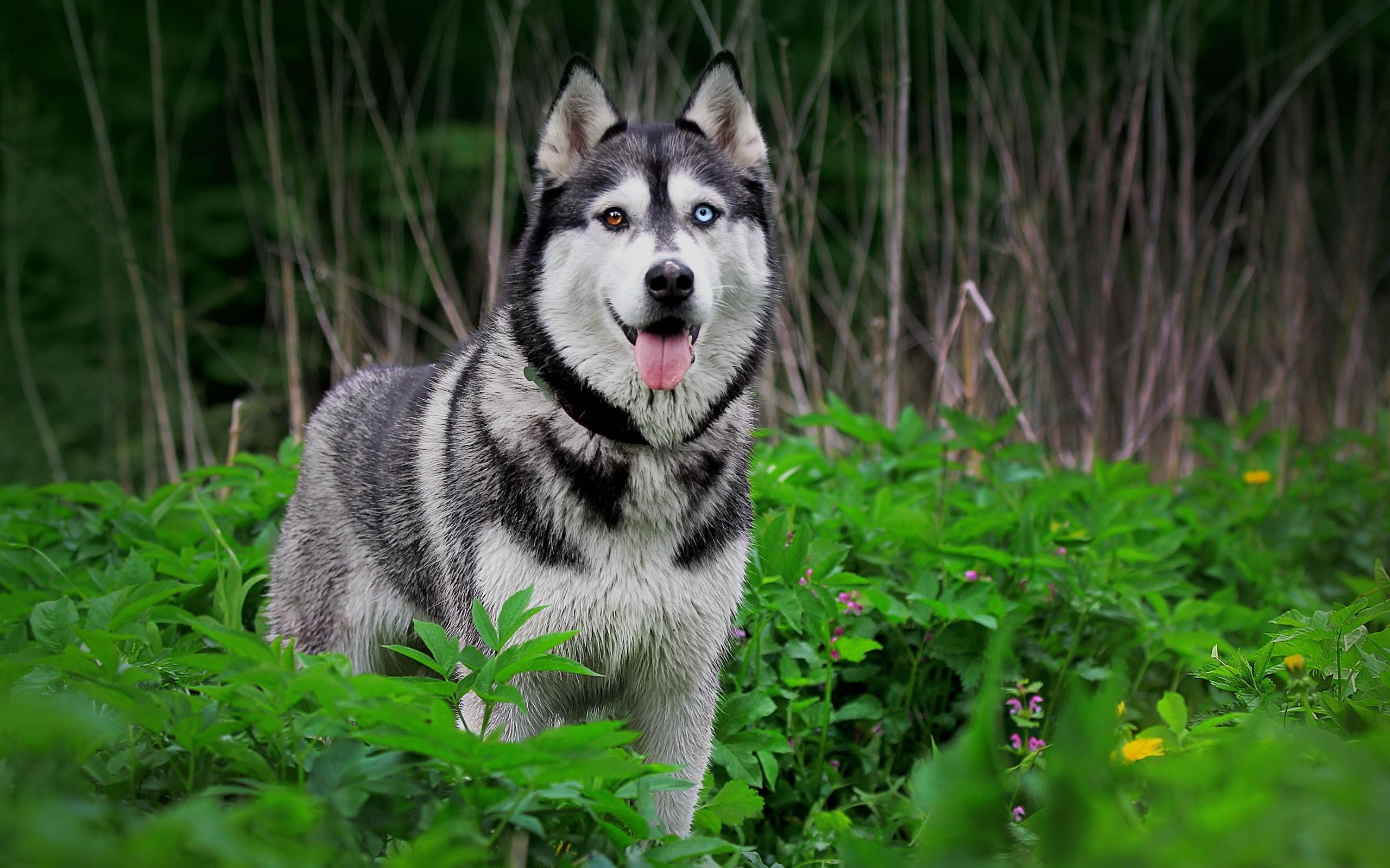siberian husky wallpaper - my doggy rocks