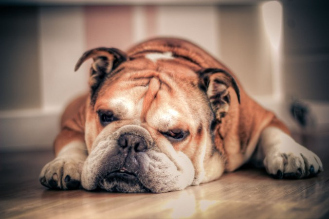 Sleepy english bulldog