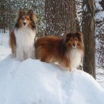 Two Shetland Sheepdogs