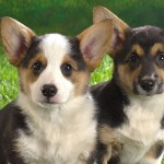 Two pembroke puppies