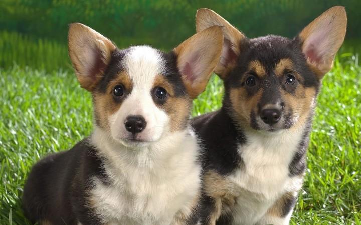 Two pembroke puppies