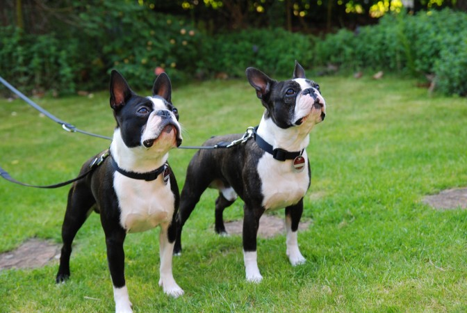 Two young Boston Terriers