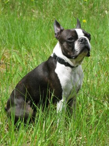 Young Boston Terrier