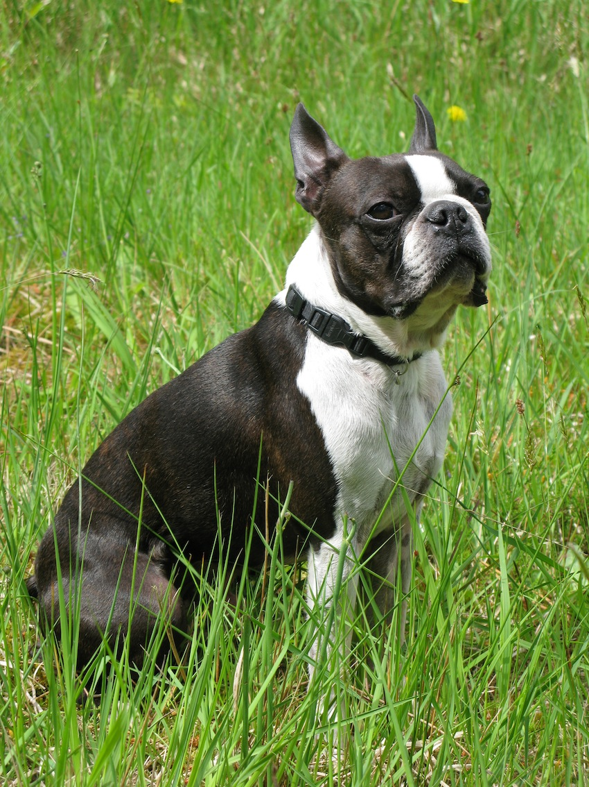 Breed nicknames: Boston Bull, Boston Bull Terrier, Boxwood, American ...