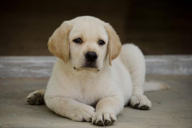 1 month old Lab puppy