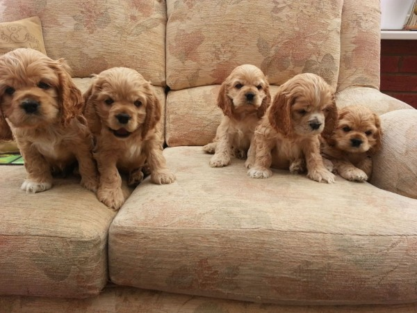 American Cocker Spaniel puppies