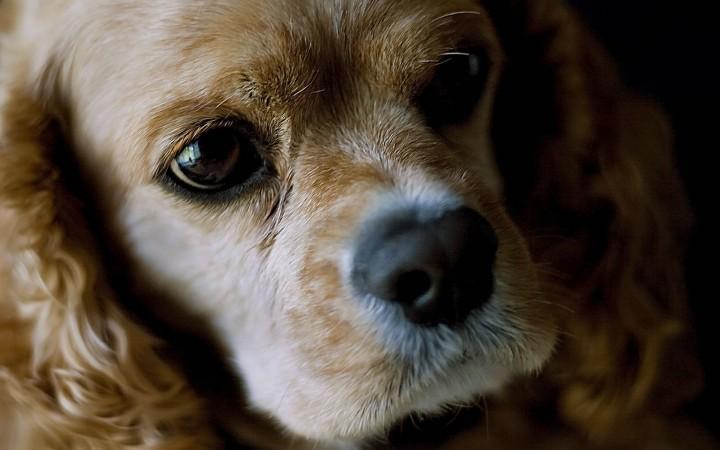American Cocker Spaniel puppy head wallpaper