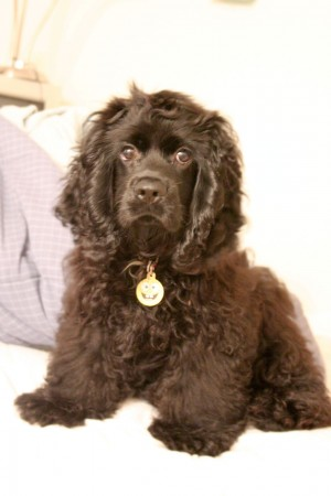American Cocker Spaniel puppy with brown coat