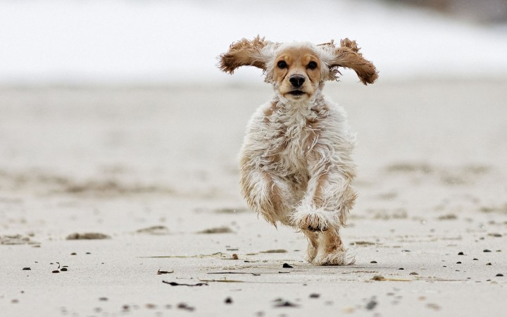American Cocker Spaniel running wallpaper